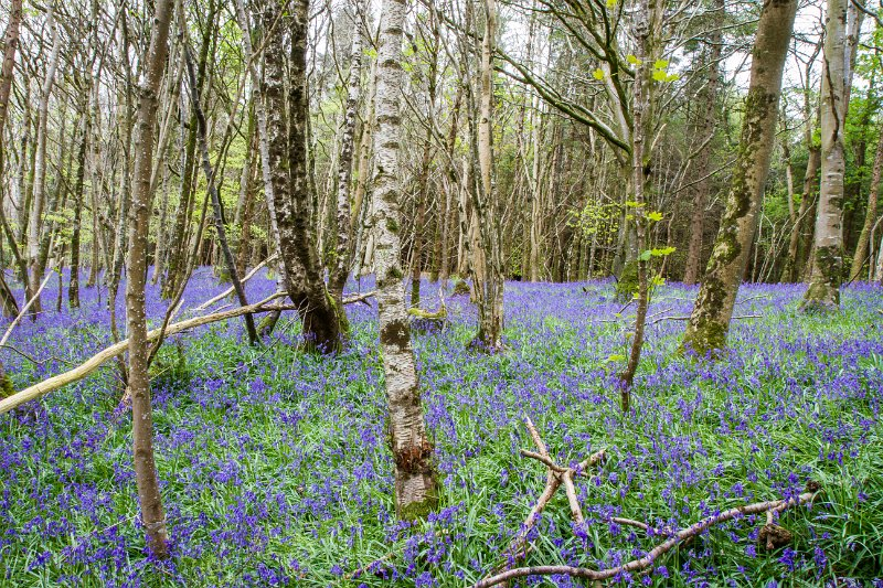 Flowers of the forest Rossmore Park 2017/Bluebells and wild
